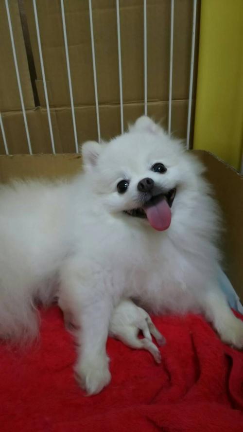 ポメラニアンの子犬(ID:1273011001)の5枚目の写真/更新日:2018-07-17