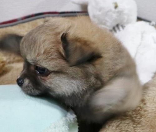 ミックスの子犬(ID:1273211001)の2枚目の写真/更新日:2018-07-16
