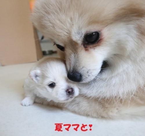 ミックスの子犬(ID:1273211002)の4枚目の写真/更新日:2019-06-06