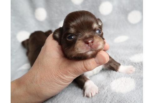 チワワ(ロング)の子犬(ID:1273211004)の1枚目の写真/更新日:2018-07-24
