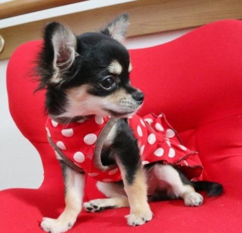 チワワ(ロング)の子犬(ID:1273211006)の2枚目の写真/更新日:2019-07-14