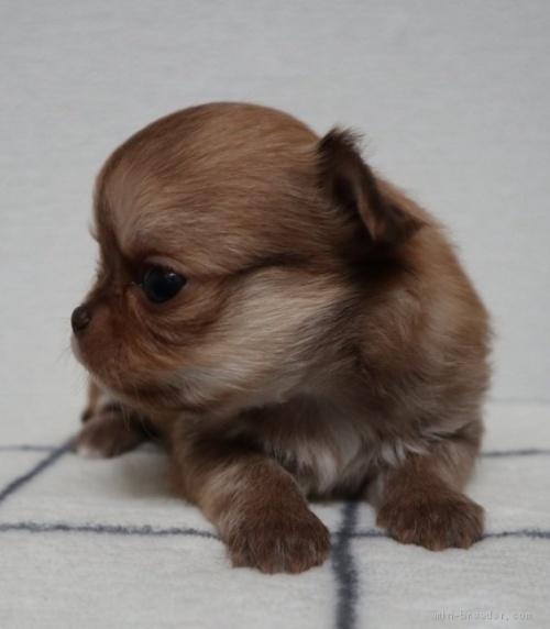チワワ(ロング)の子犬(ID:1273211007)の2枚目の写真/更新日:2019-07-14