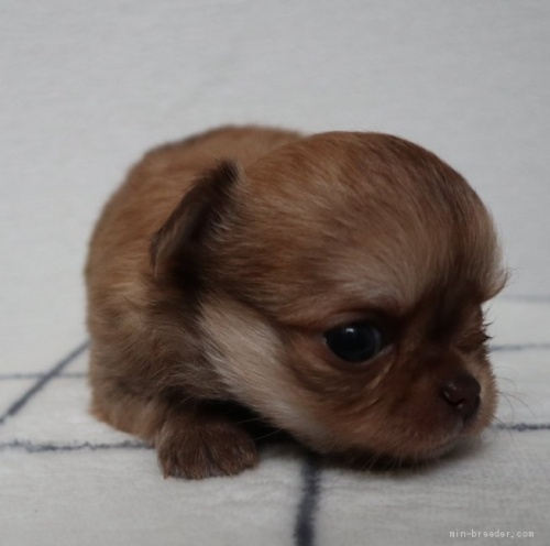 チワワ(ロング)の子犬(ID:1273211007)の3枚目の写真/更新日:2019-07-14