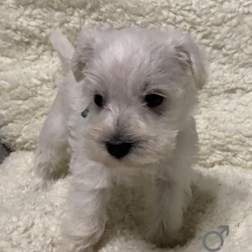 ミニチュアシュナウザーの子犬(ID:1273211010)の1枚目の写真/更新日:2019-05-13