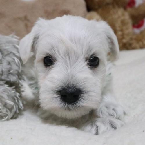 ミニチュアシュナウザーの子犬(ID:1273211012)の1枚目の写真/更新日:2019-01-04