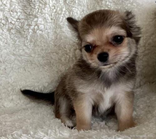 チワワ(ロング)の子犬(ID:1273211017)の3枚目の写真/更新日:2021-05-07