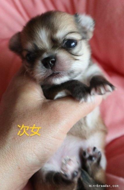 チワワ(ロング)の子犬(ID:1273211021)の1枚目の写真/更新日:2021-05-07