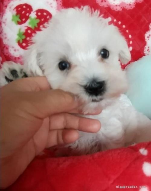 ミニチュアシュナウザーの子犬(ID:1273211027)の2枚目の写真/更新日:2020-10-26