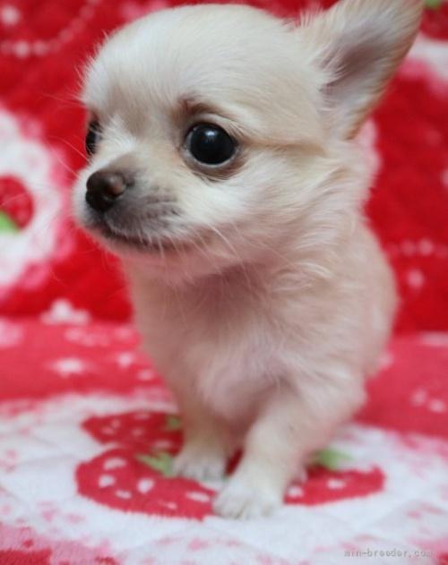 チワワ(ロング)の子犬(ID:1273211031)の1枚目の写真/更新日:2021-05-07