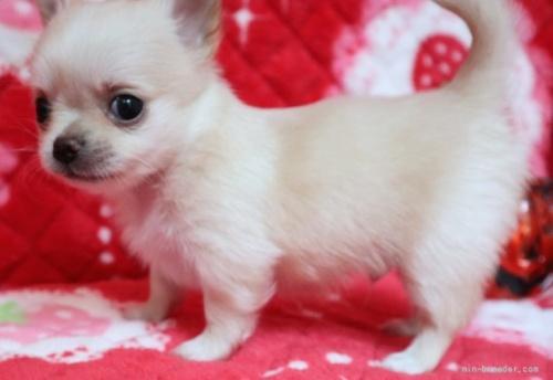チワワ(ロング)の子犬(ID:1273211031)の3枚目の写真/更新日:2021-05-07