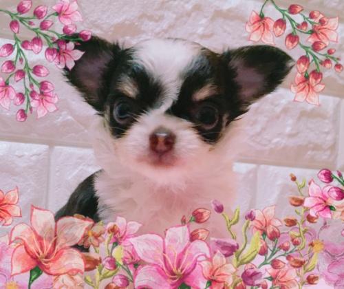 ミックスの子犬(ID:1273311001)の1枚目の写真/更新日:2018-07-18