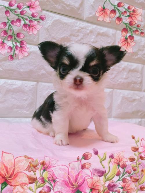 ミックスの子犬(ID:1273311001)の2枚目の写真/更新日:2018-07-18