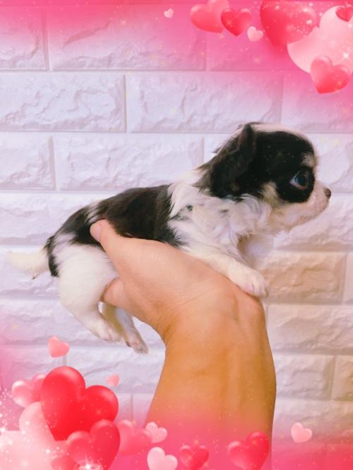 ミックスの子犬(ID:1273311001)の4枚目の写真/更新日:2018-07-18