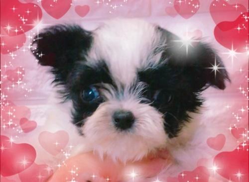 ミックスの子犬(ID:1273311002)の1枚目の写真/更新日:2018-07-18