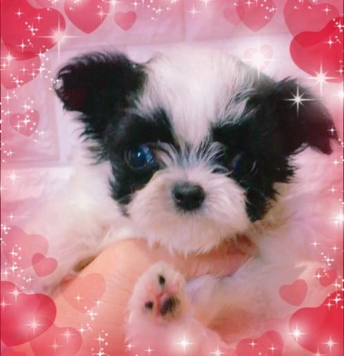 ミックスの子犬(ID:1273311002)の2枚目の写真/更新日:2018-07-18