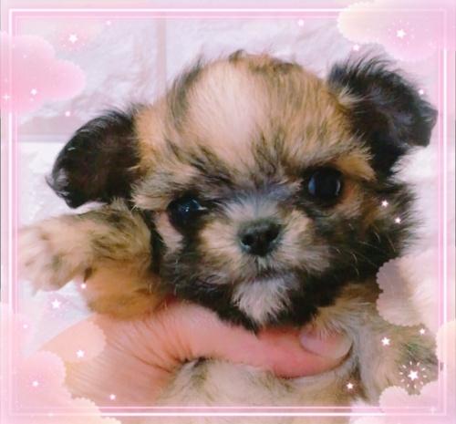 ミックスの子犬(ID:1273311003)の1枚目の写真/更新日:2018-07-18