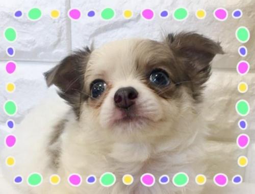 チワワ(ロング)の子犬(ID:1273311004)の1枚目の写真/更新日:2018-08-17