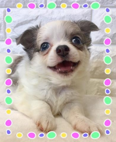 チワワ(ロング)の子犬(ID:1273311004)の2枚目の写真/更新日:2018-08-17
