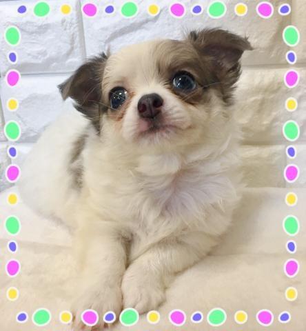 チワワ(ロング)の子犬(ID:1273311004)の3枚目の写真/更新日:2018-08-17