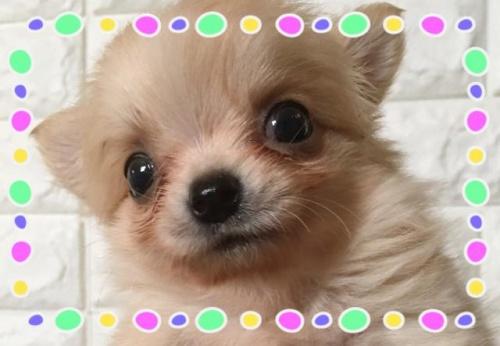 チワワ(ロング)の子犬(ID:1273311005)の1枚目の写真/更新日:2018-09-10