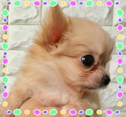 チワワ(ロング)の子犬(ID:1273311005)の2枚目の写真/更新日:2018-09-10
