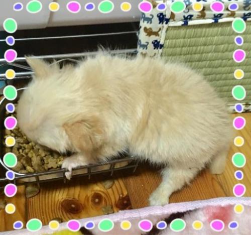 チワワ(ロング)の子犬(ID:1273311005)の3枚目の写真/更新日:2018-09-10