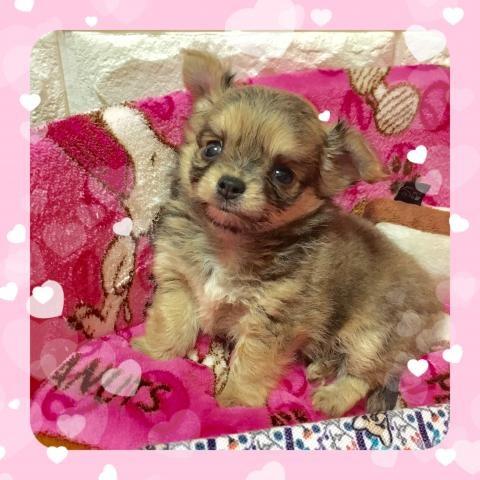 ミックスの子犬(ID:1273311006)の2枚目の写真/更新日:2018-09-10