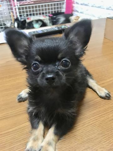 チワワ(ロング)の子犬(ID:1273311007)の1枚目の写真/更新日:2018-09-12