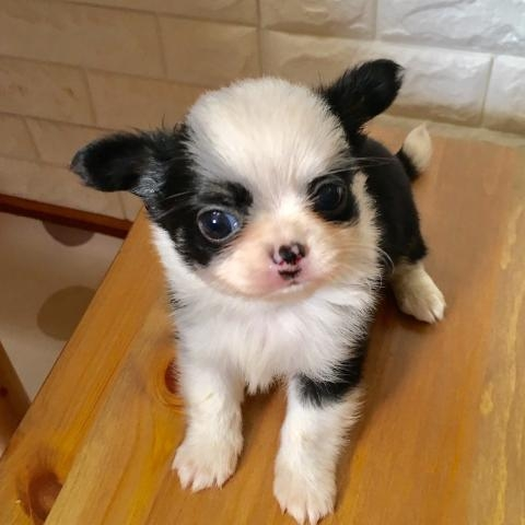 チワワ(ロング)の子犬(ID:1273311008)の2枚目の写真/更新日:2018-09-27