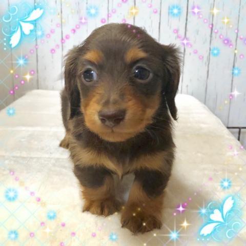 ミニチュアダックスフンド(ロング)の子犬(ID:1273311011)の1枚目の写真/更新日:2019-03-04