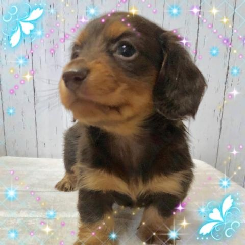 ミニチュアダックスフンド(ロング)の子犬(ID:1273311011)の2枚目の写真/更新日:2019-03-04