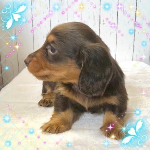 ミニチュアダックスフンド(ロング)の子犬(ID:1273311011)の3枚目の写真/更新日:2019-03-04
