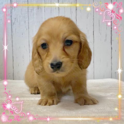 ミニチュアダックスフンド(ロング)の子犬(ID:1273311012)の1枚目の写真/更新日:2019-03-11