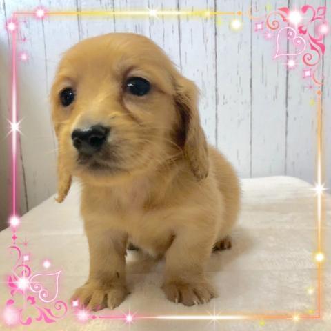 ミニチュアダックスフンド(ロング)の子犬(ID:1273311012)の2枚目の写真/更新日:2019-03-11