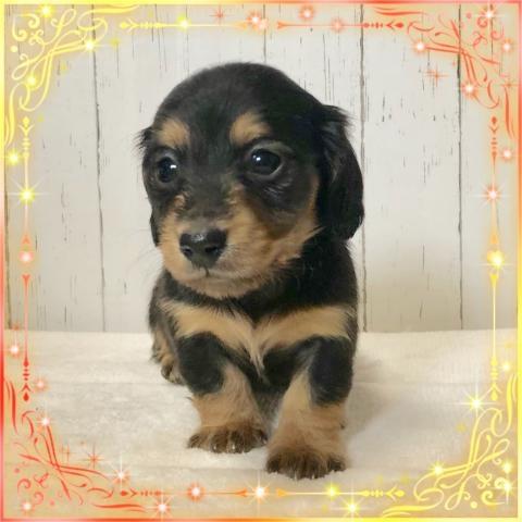 ミニチュアダックスフンド(ロング)の子犬(ID:1273311013)の1枚目の写真/更新日:2019-03-11