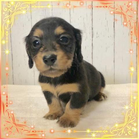 ミニチュアダックスフンド(ロング)の子犬(ID:1273311013)の2枚目の写真/更新日:2019-03-11