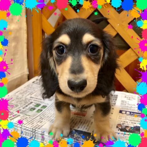 ミニチュアダックスフンド(ロング)の子犬(ID:1273311014)の1枚目の写真/更新日:2019-03-11