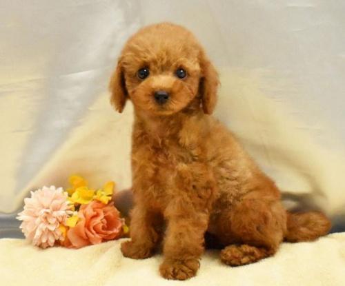 トイプードルの子犬(ID:1273511002)の1枚目の写真/更新日:2018-07-28
