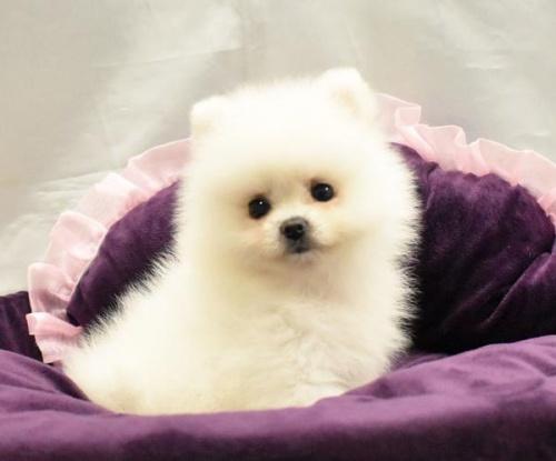 ポメラニアンの子犬(ID:1273511003)の1枚目の写真/更新日:2019-08-27