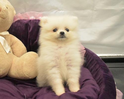 ポメラニアンの子犬(ID:1273511004)の2枚目の写真/更新日:2018-09-09