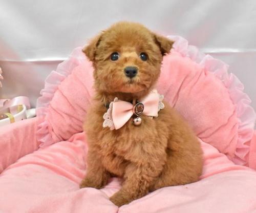 トイプードルの子犬(ID:1273511005)の1枚目の写真/更新日:2019-10-21