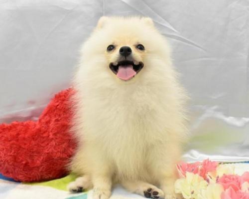 ポメラニアンの子犬(ID:1273511012)の1枚目の写真/更新日:2019-08-23