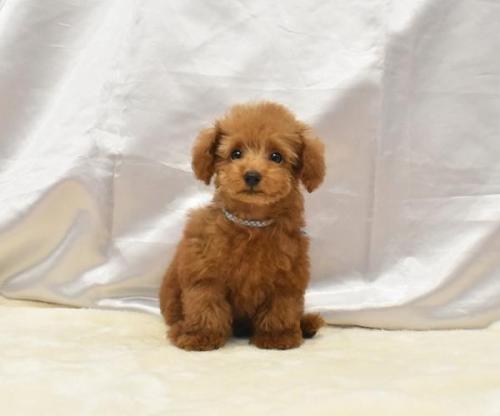 トイプードルの子犬(ID:1273511017)の1枚目の写真/更新日:2019-09-02