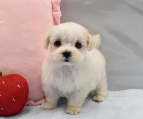 マルチーズの子犬(ID:1273511018)の1枚目の写真/更新日:2019-09-02