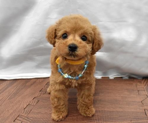 トイプードルの子犬(ID:1273511019)の1枚目の写真/更新日:2019-09-04