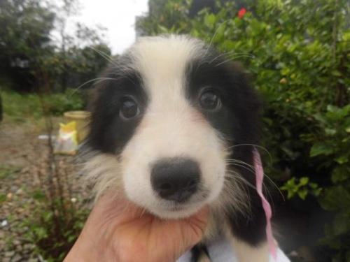 ボーダーコリーの子犬(ID:1273611003)の1枚目の写真/更新日:2018-07-30