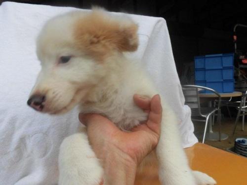 ボーダーコリーの子犬(ID:1273611004)の2枚目の写真/更新日:2018-07-30