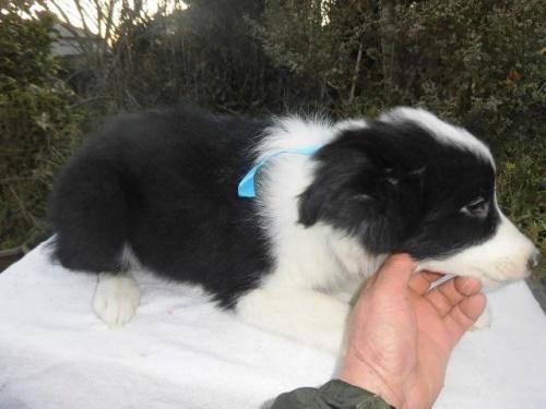 ボーダーコリーの子犬(ID:1273611005)の3枚目の写真/更新日:2018-07-30