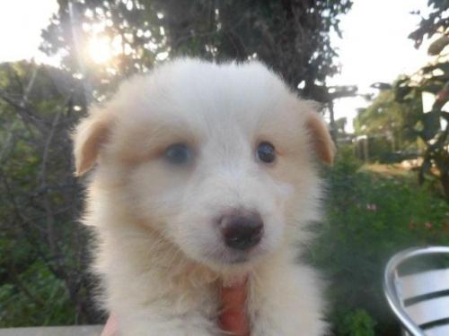 ボーダーコリーの子犬(ID:1273611006)の1枚目の写真/更新日:2018-07-30