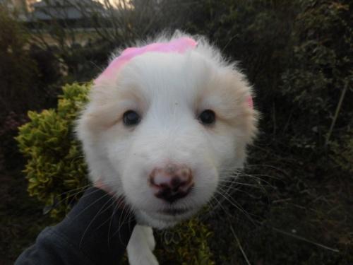 フラットコーテッドレトリバーの子犬(ID:1273611008)の1枚目の写真/更新日:2018-07-30